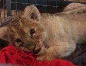 В Париже из машины класса Lux спасли львёнка
