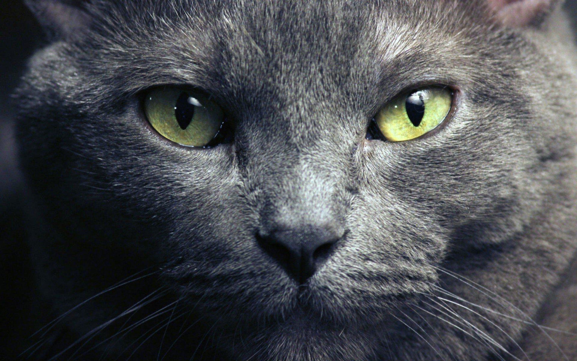 Глаза русской голубой кошки