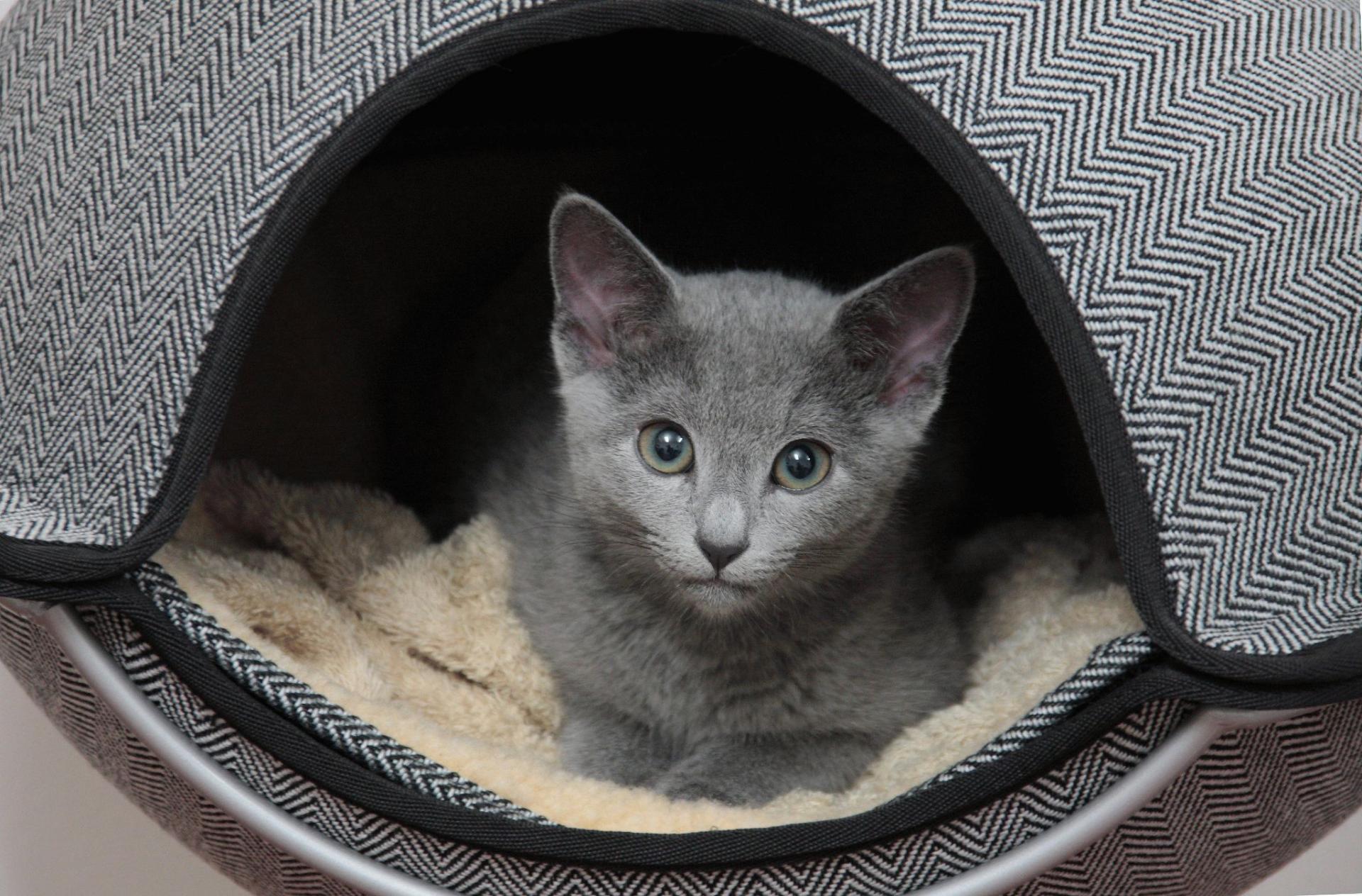 Котёнок породы русская голубая