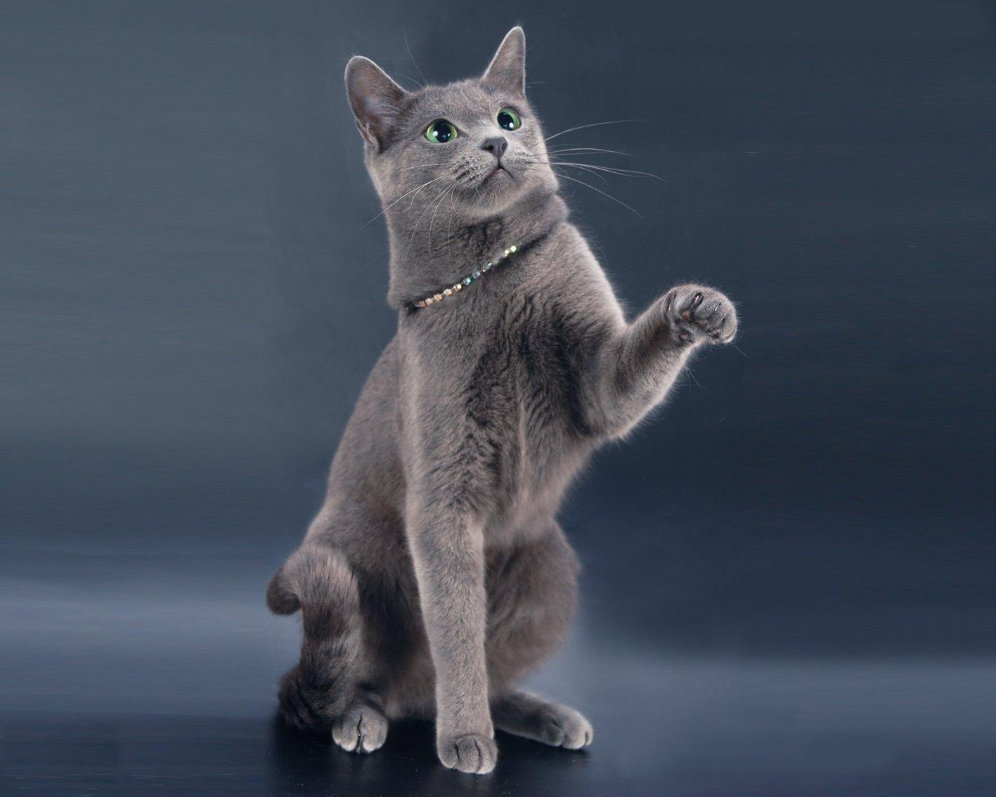 Кошечка породы русская голубая играет