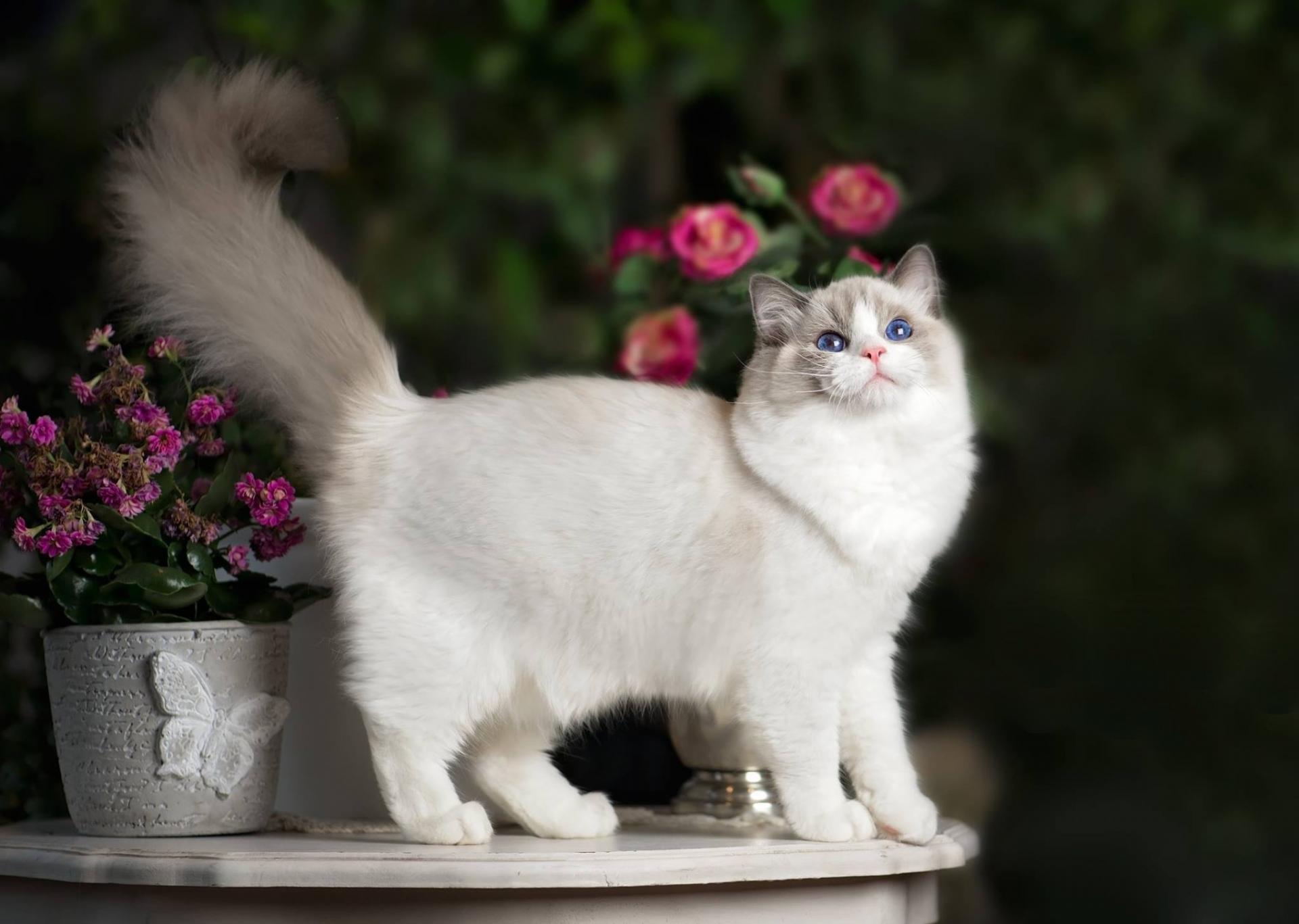 Кошка породы рег долл в цветах