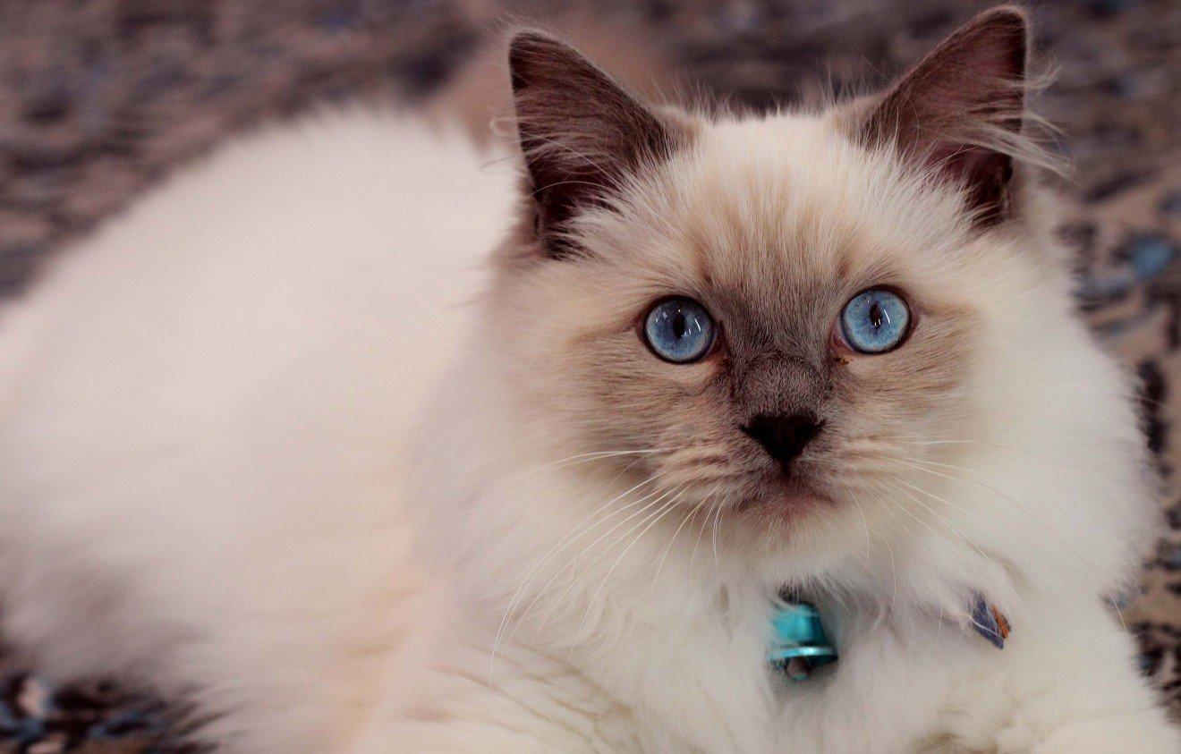 Котёнок рег долл