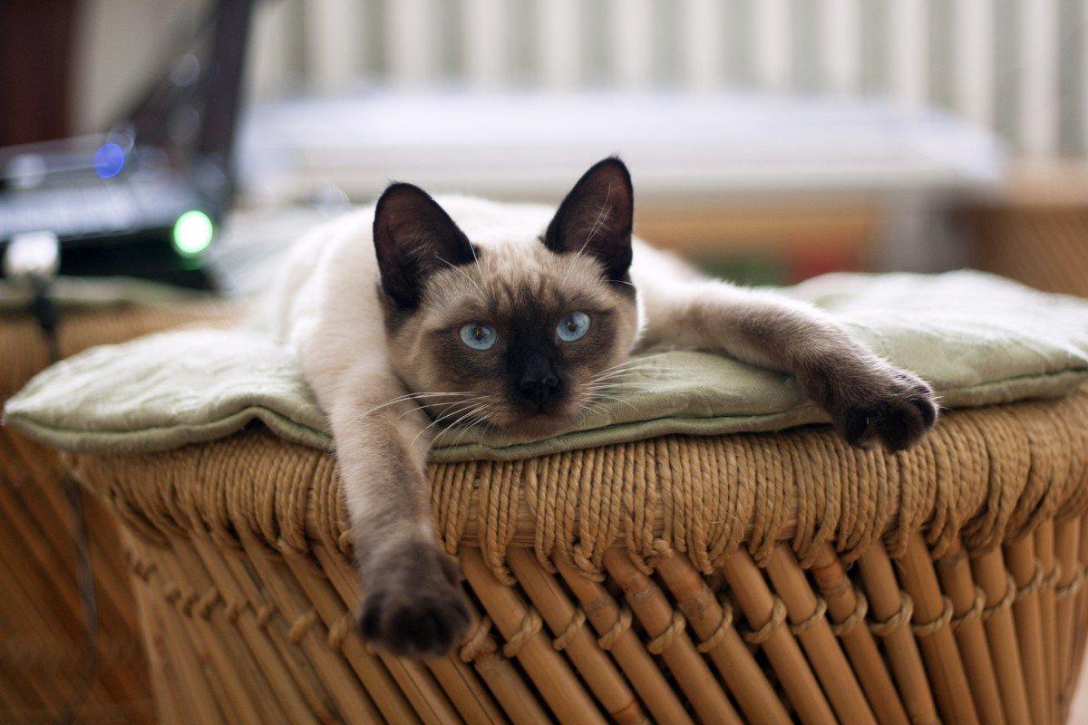 Сиамская кошка в корзинке