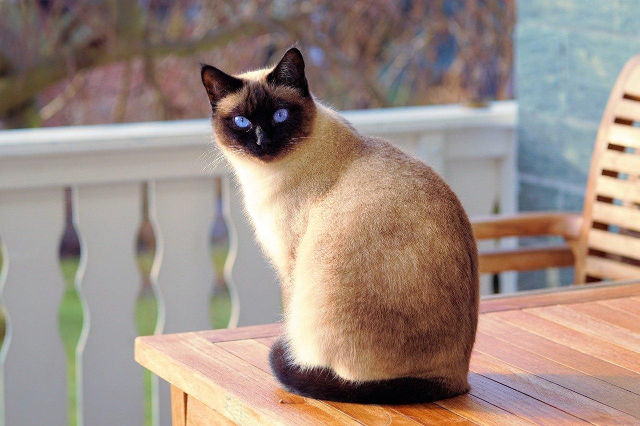 Сиамский кот сидит на веранде