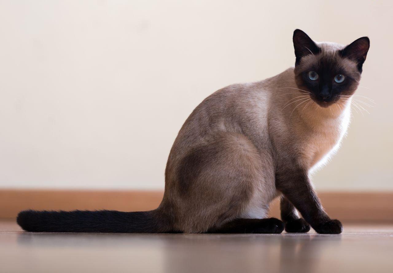 Кошка сиамской породы