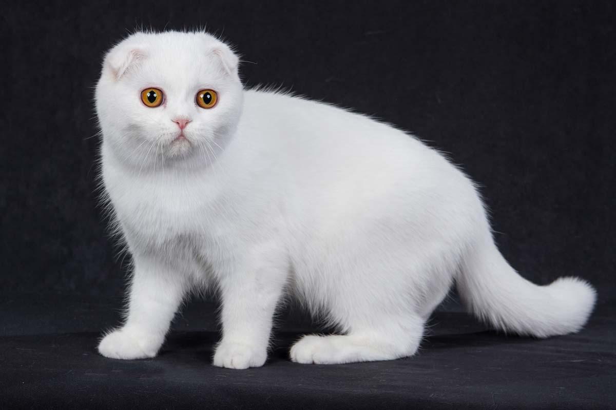 Белая вислоухая кошечка