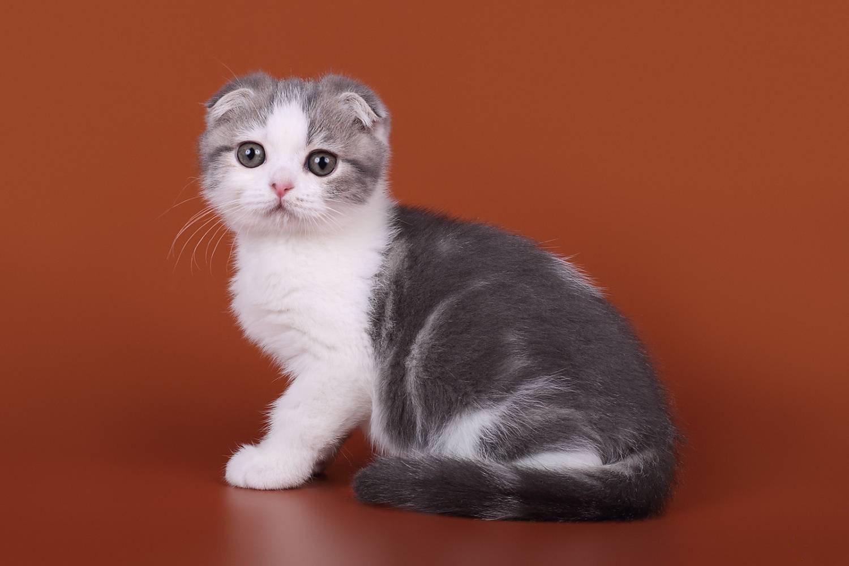 Кошка породы скоттиш-фолд