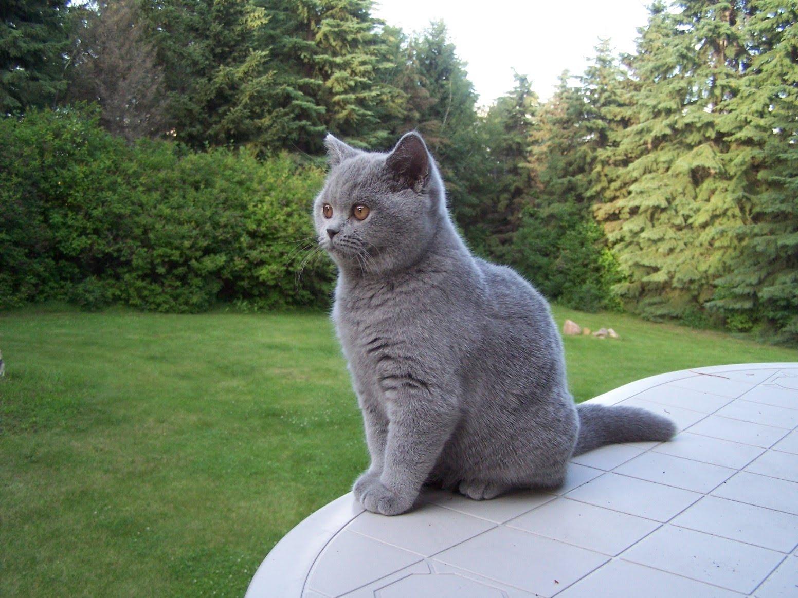 Котёнок британской короткошёрстной на прогулке