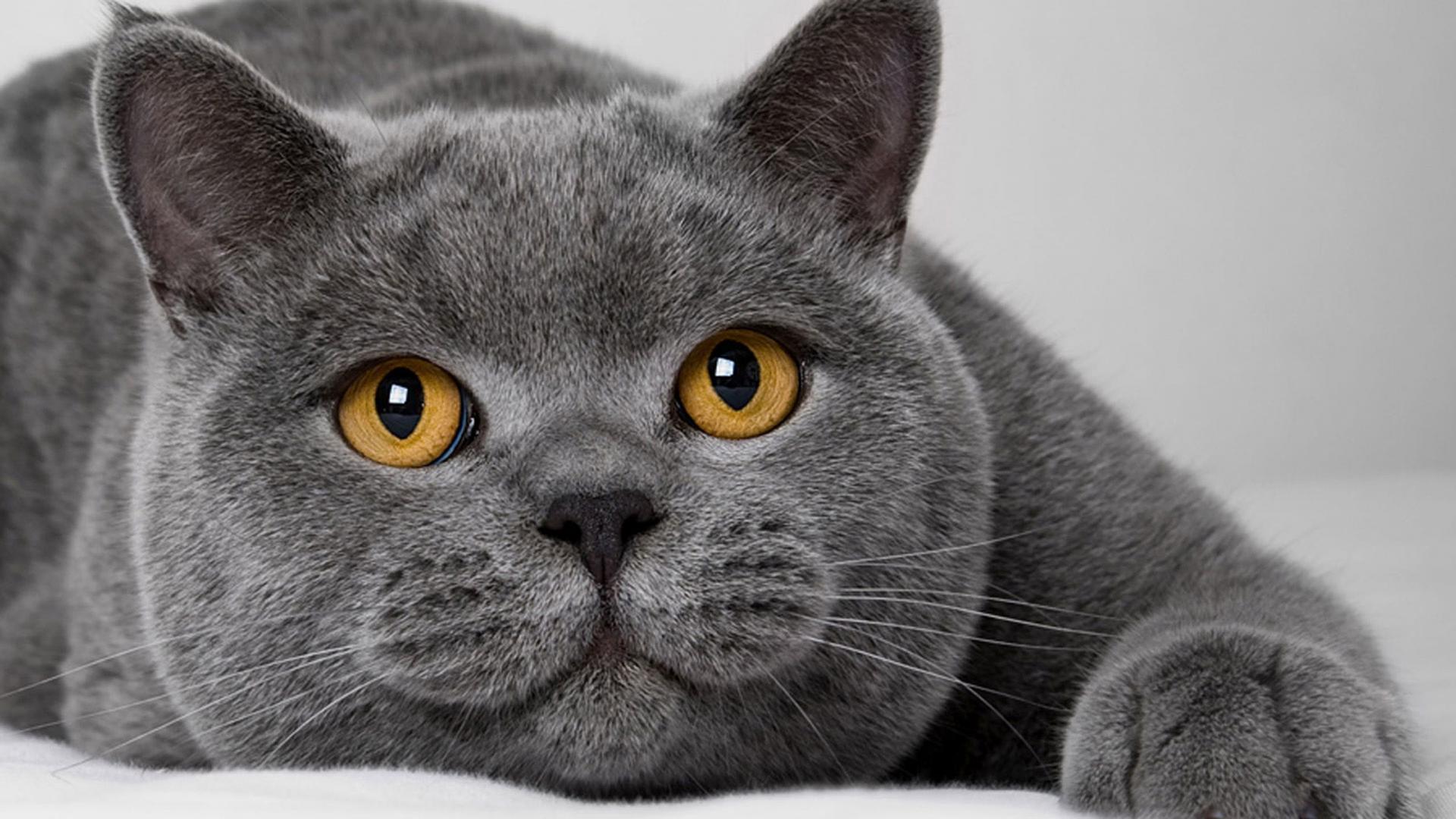 Мордочка кошки породы британская короткошёрстная