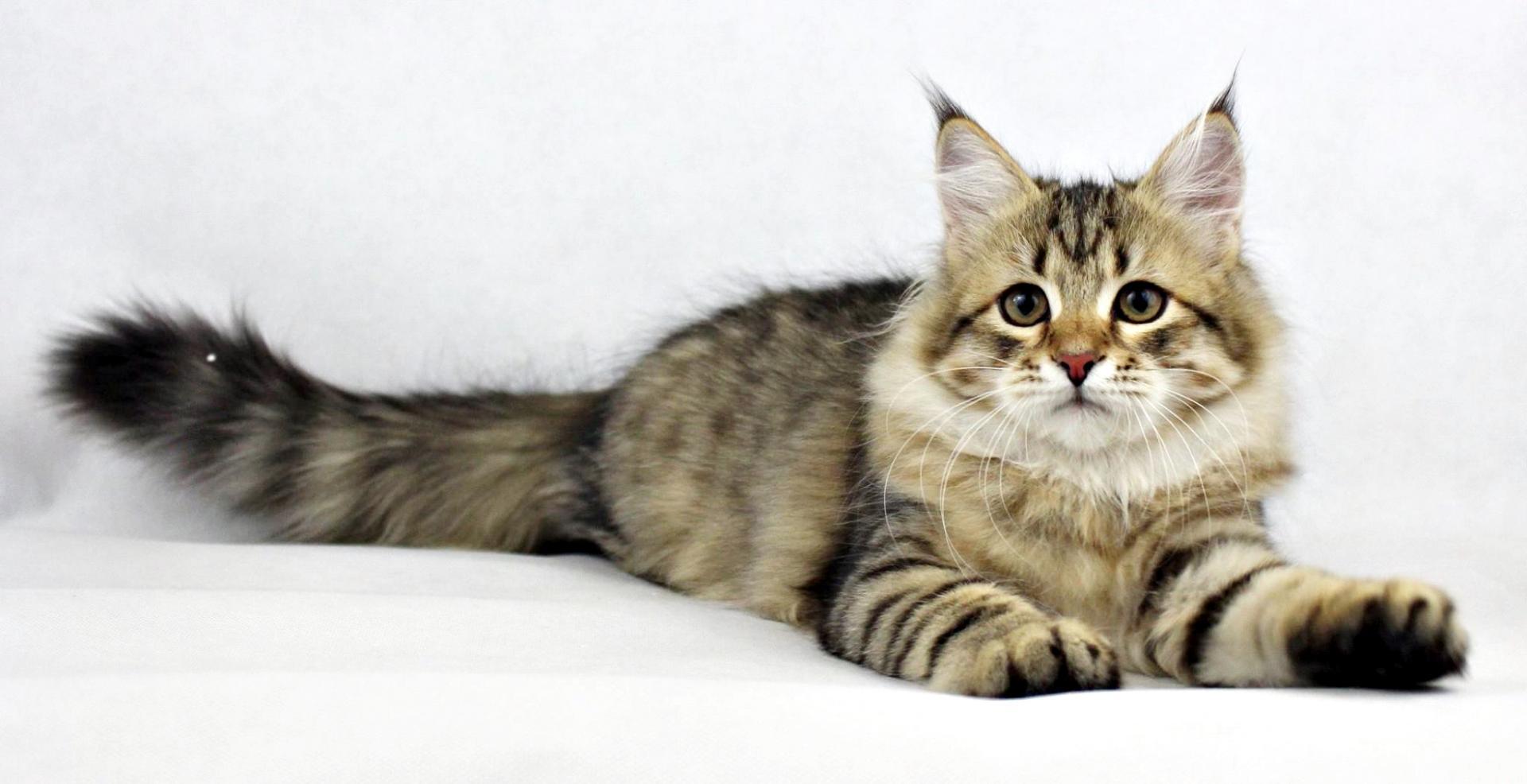 Молодая кошка сибирской породы