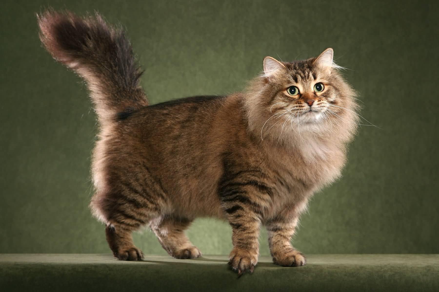 Сибирская кошка прогуливается