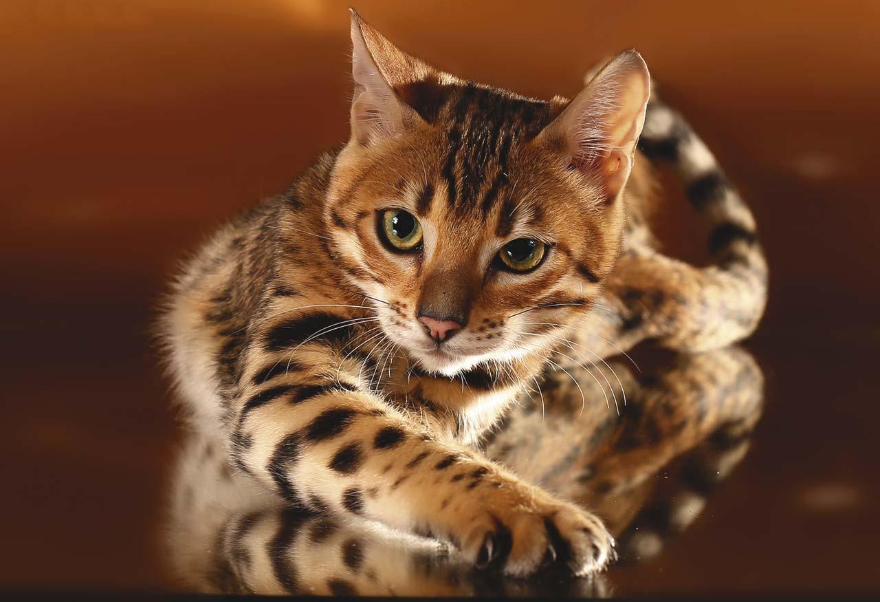 Игривый котенок бенгальской кошки