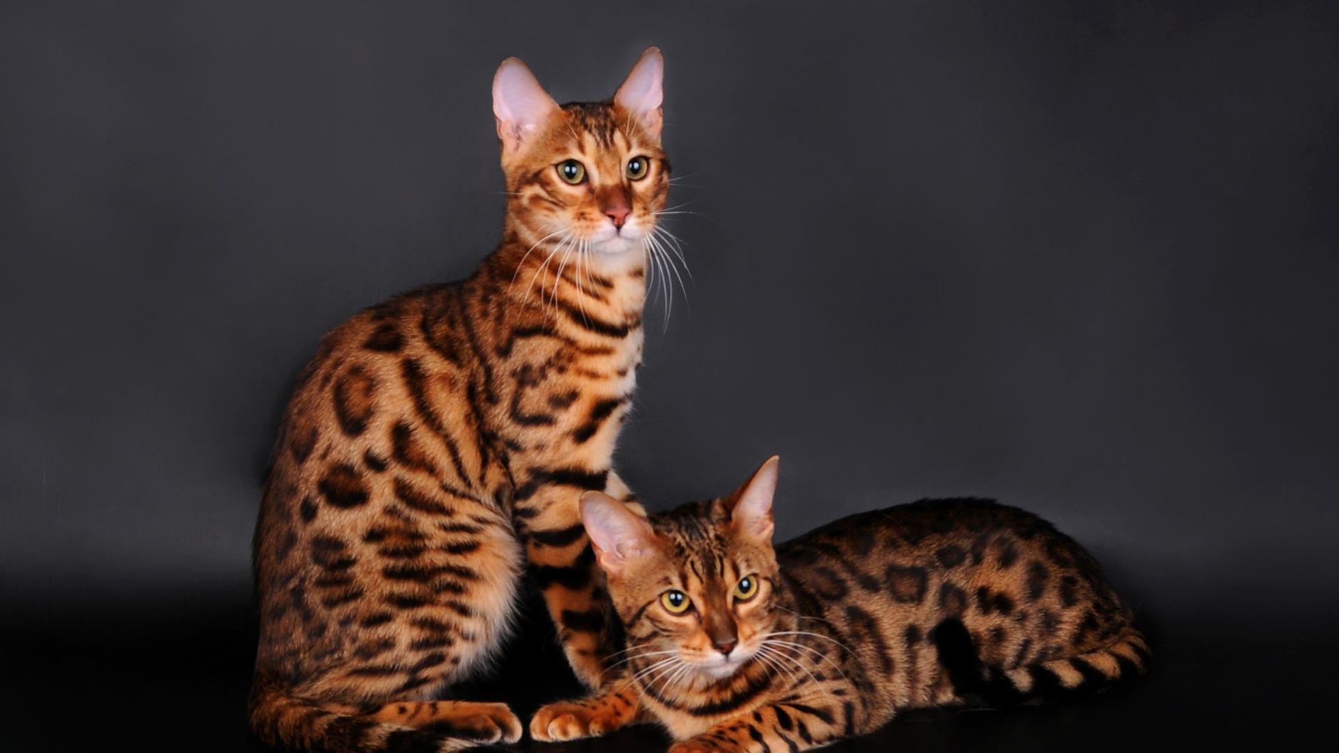 Бенгальские кошки с леопардовым окрасом