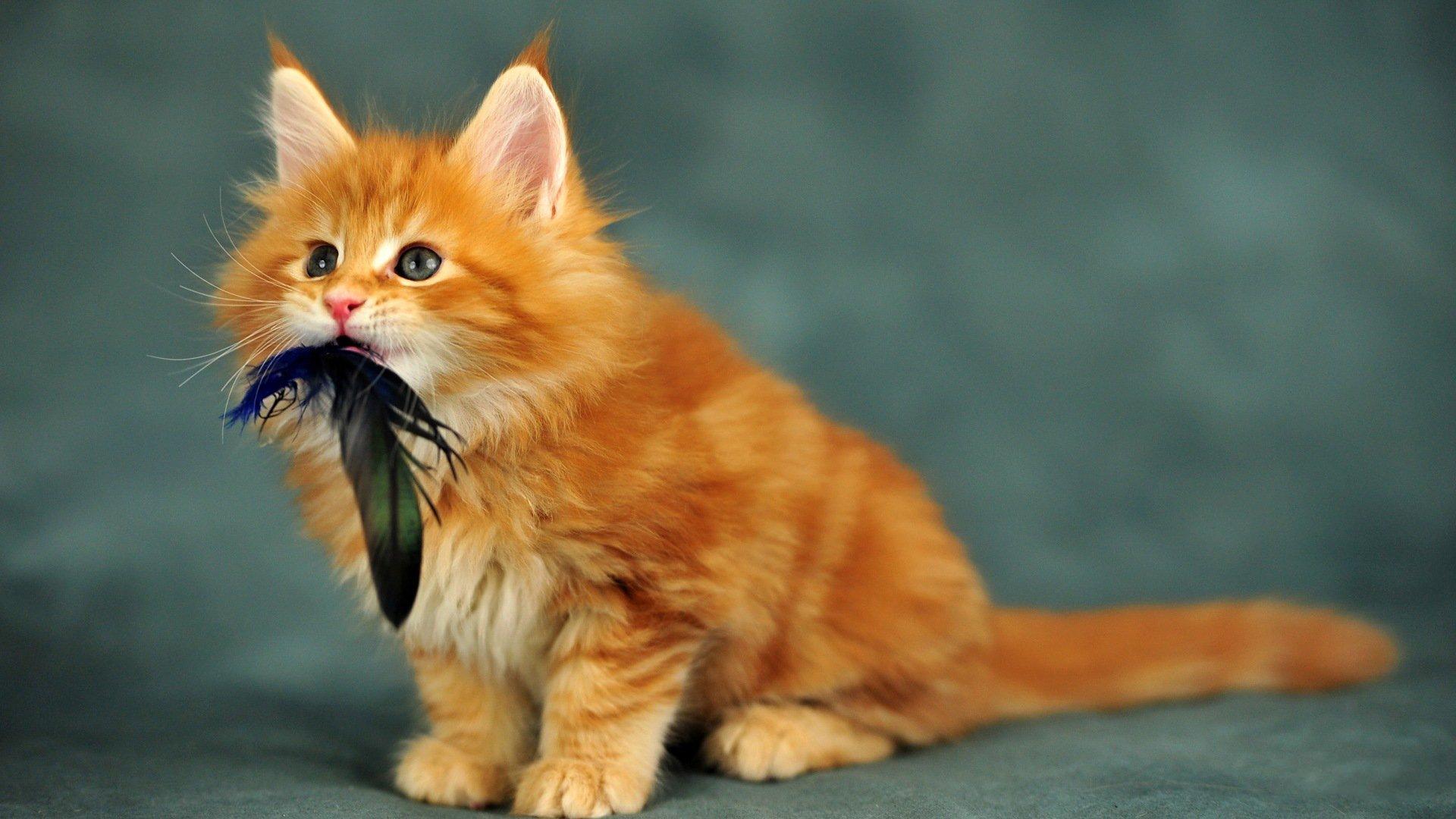 Котёнок мейн-куна поймал добычу