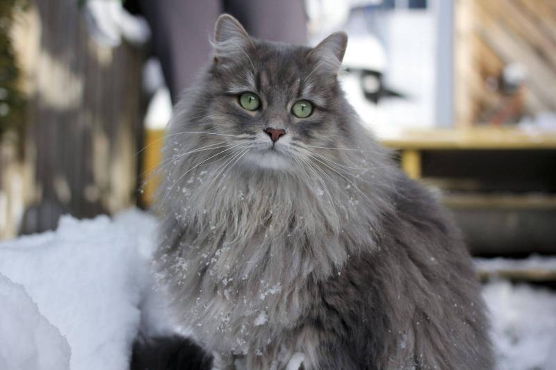 Самые красивые породы кошек с фото
