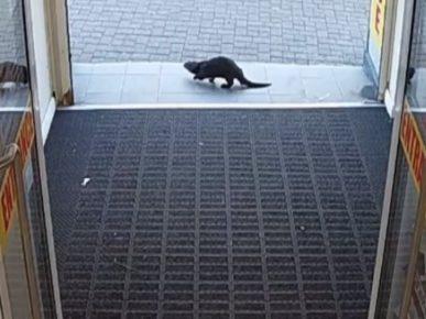 Выдра выбегает из магазина