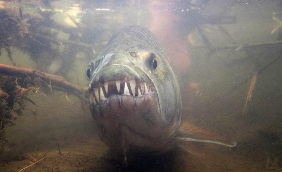Тигровая рыба под водой