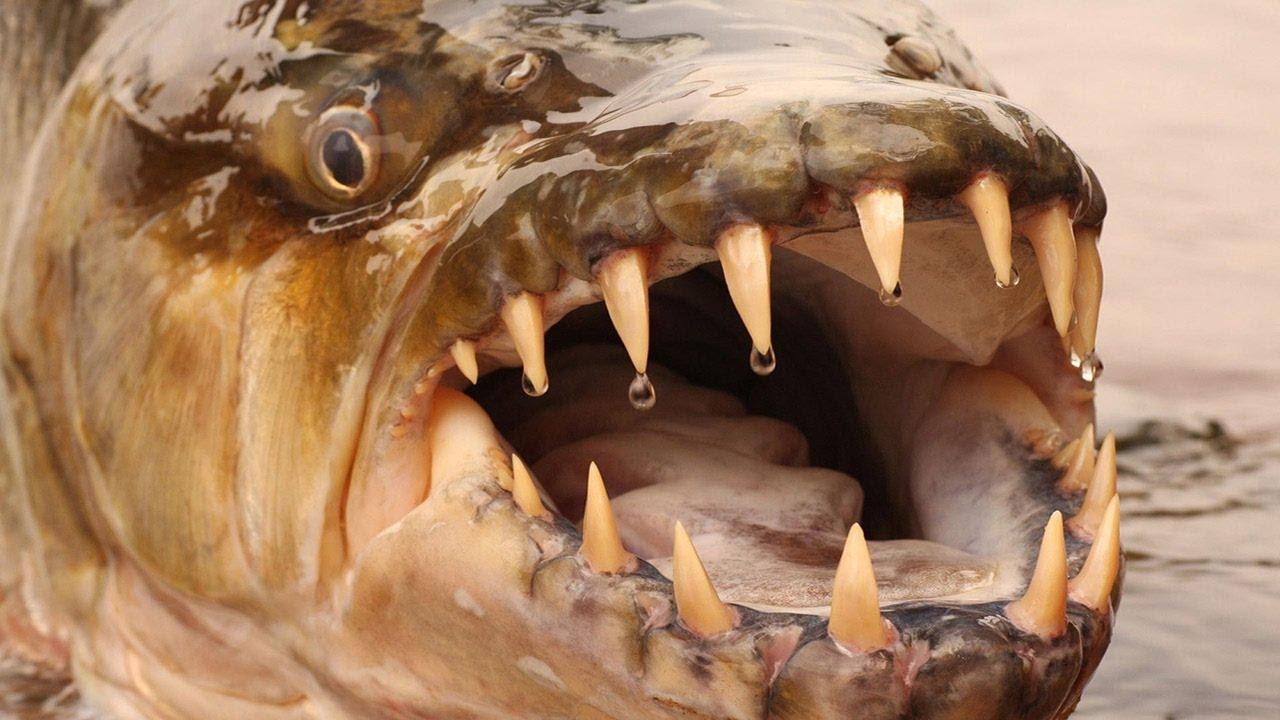 Пасть рыбы-голиафа