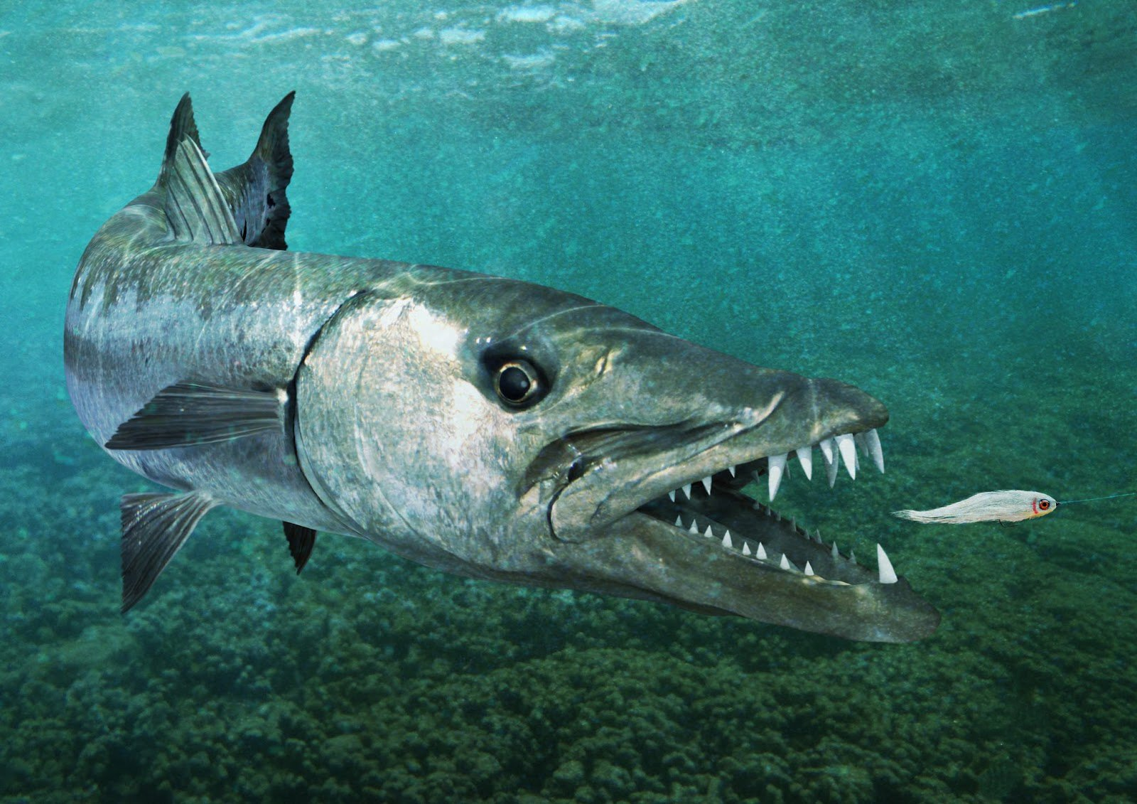 Барракуда на охоте за рыбёшкой