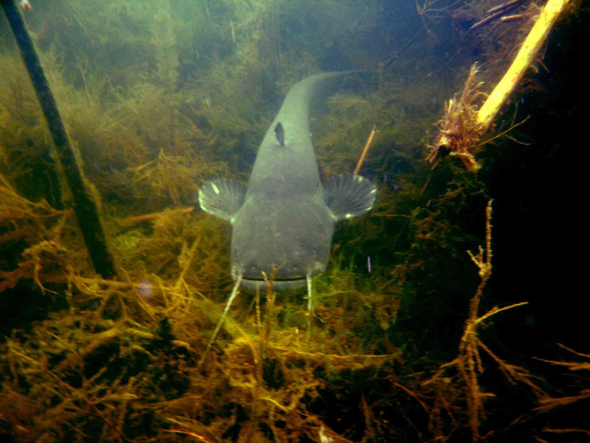 Сом в воде