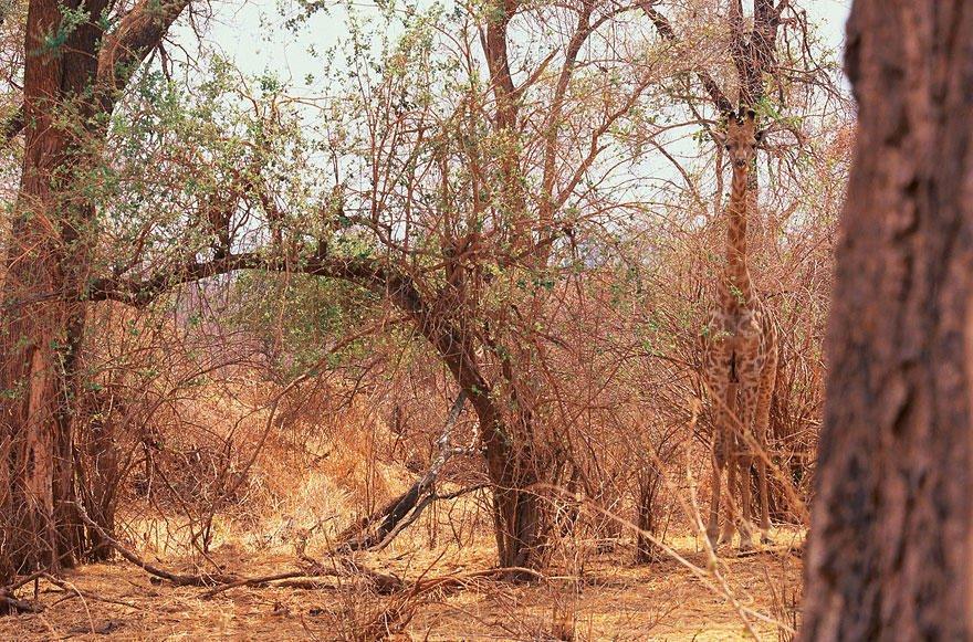 Жираф маскируется в деревьях