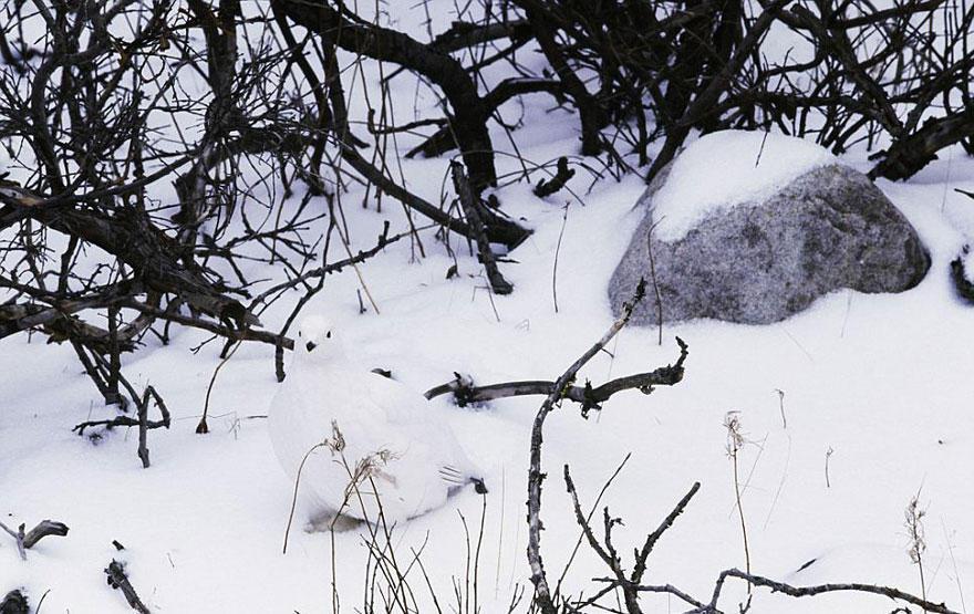куропатка в снегу
