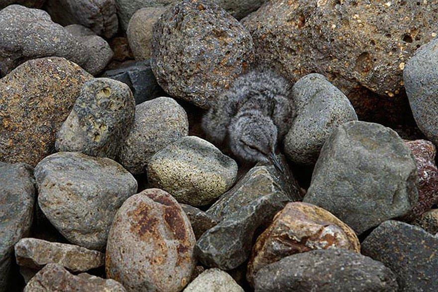 Птенец маскируется среди камней