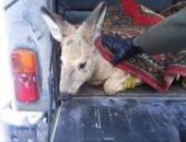 Косуля спаслась от собак в Красноярске