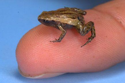 Лягушка Ноблела на пальце человека