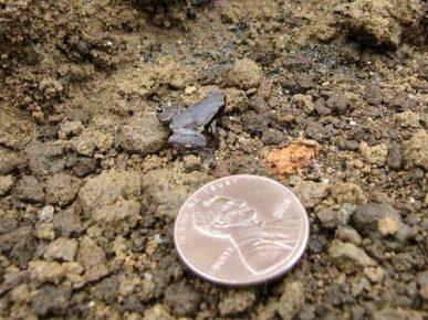 Самая маленькая лягушка