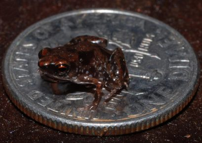 Самая маленькая лягушка в сравнении с монетой