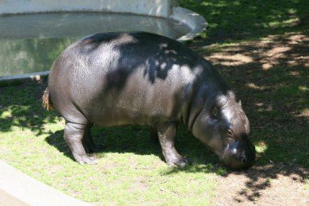фото карликового бегемота