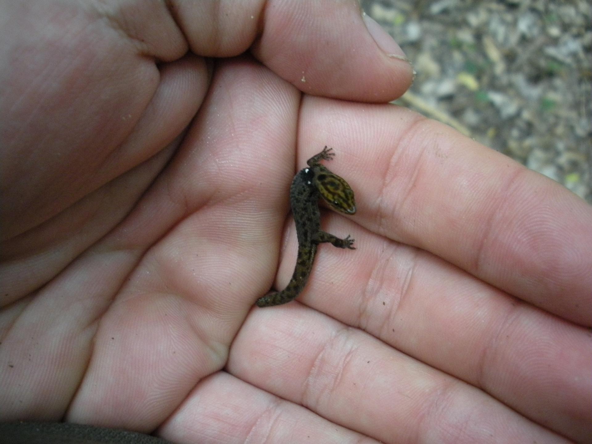 Карликовый геккон на ладони