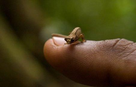 Карликовый геккон в сравнении с ногтём человека