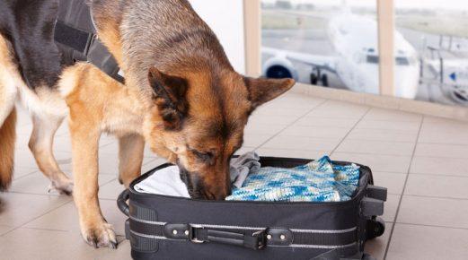 Собака ищет в чемодане предмет