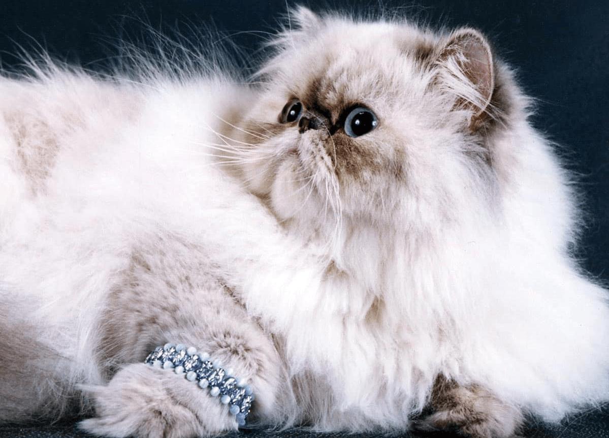Персидская кошка с браслетом
