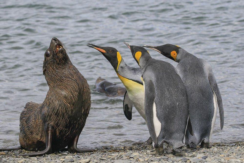 Котик и пингвины