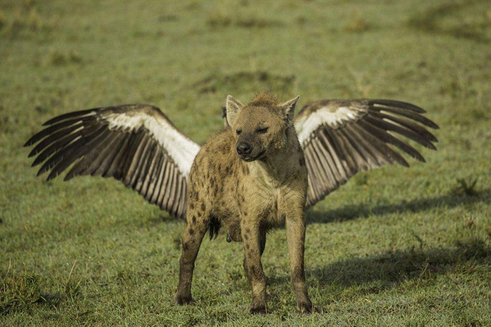 Гиена с крыльями