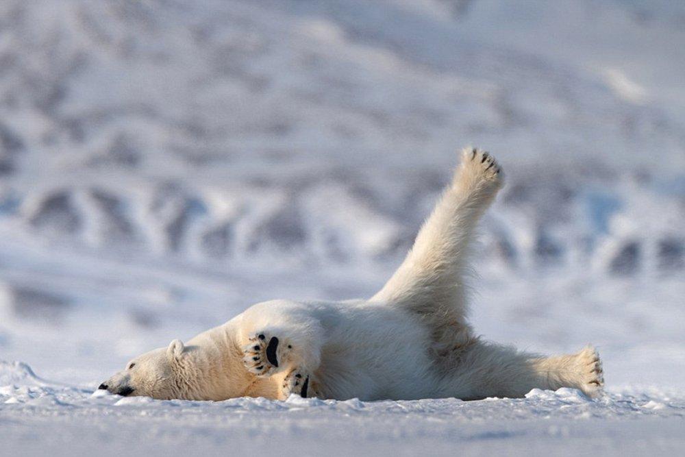 смешная картинка белого медведя красиво