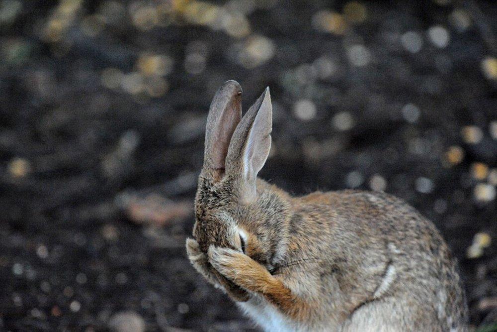 Кролик закрыл глаза лапами