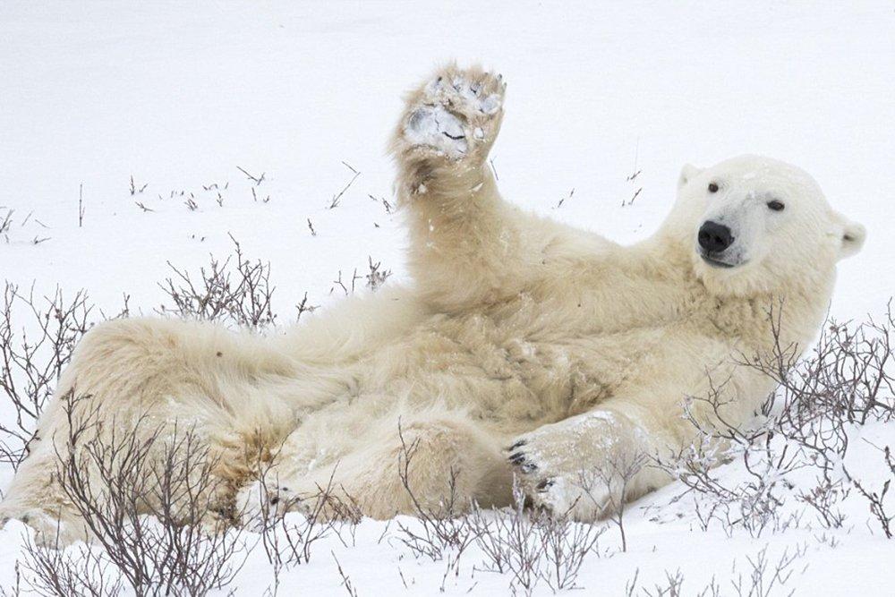 Белый медведь поднял лапу