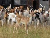 Собаки на охоте загнали оленя к обрыву скалы и сами упали с неё