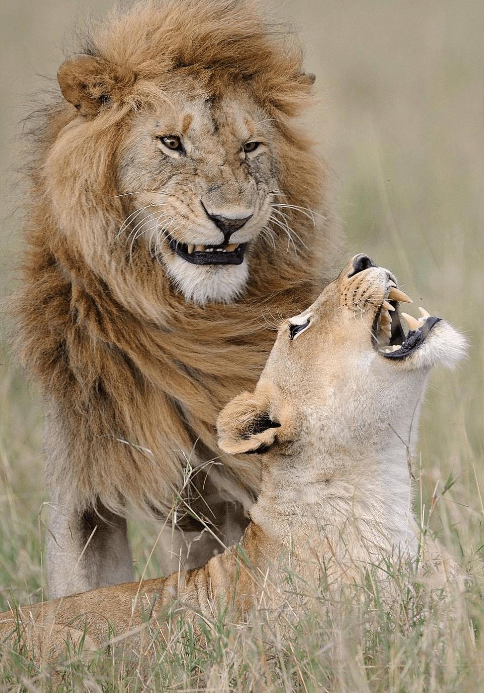 Лев с львицей