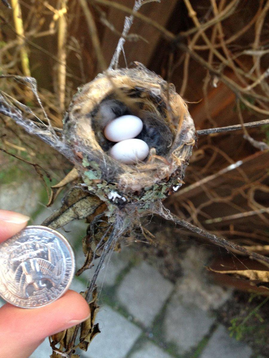 Гнездо колибри-пчёлки