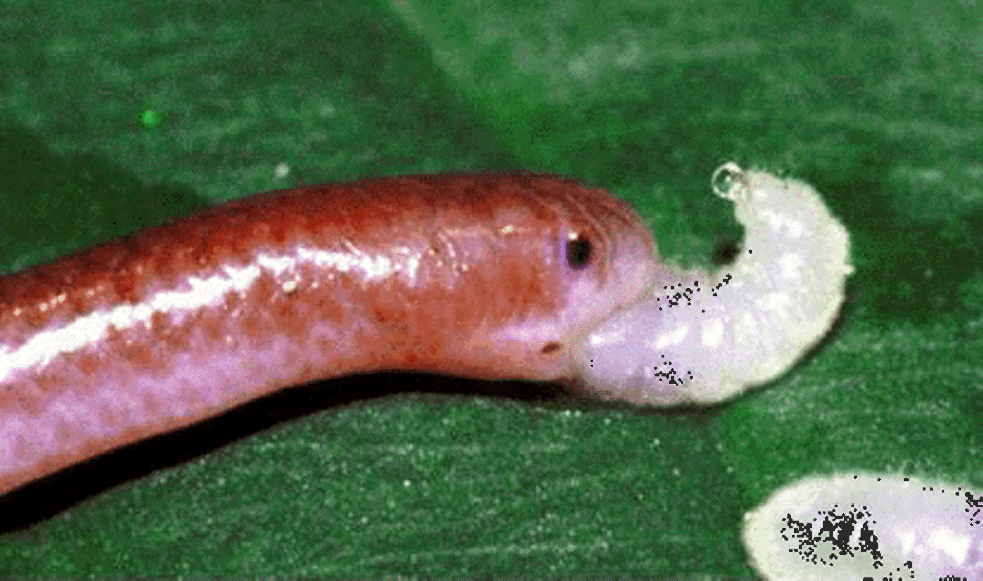 Барбадосская узкоротая змея