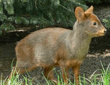 Карликовый олень пуду