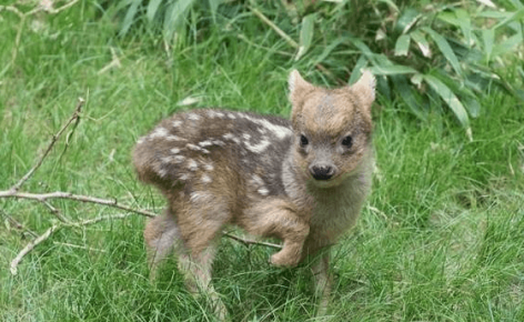 Детёныш карликового оленя пуду