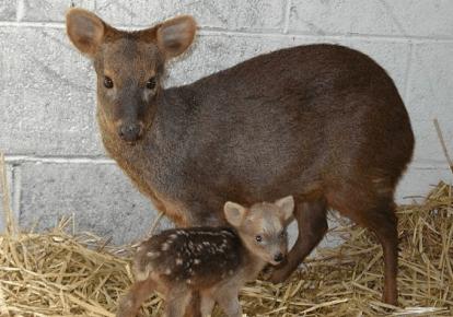Карликовый олень пуду — самка с детёнышем