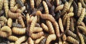 В Петербурге девушка разводит червей и жуков и питается ими