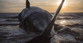 У берегов Индонезии нашли выброшенного на берег кита